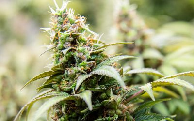 Research shows that THC amounts..
